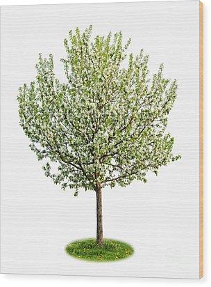 Flowering Apple Tree Wood Print by Elena Elisseeva