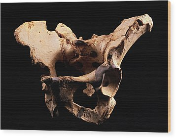 Fossilised Pelvis, Sima De Los Huesos Wood Print by Javier Truebamsf