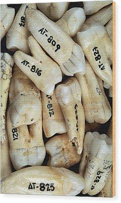 Fossilised Teeth, Sima De Los Huesos Wood Print by Javier Truebamsf
