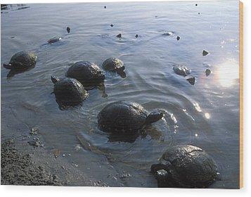 Fresh Water Turtles At Wood Print by Stephen Alvarez
