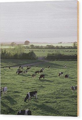Friesian Bullocks, Ireland Herd Of Wood Print by The Irish Image Collection