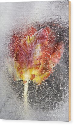 Frozen Tulip 3 Wood Print by Johnny Hildingsson