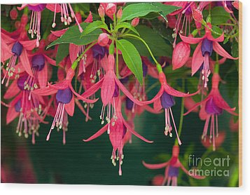 Fuchsia Windchime Flowers Wood Print by Alan and Linda Detrick and Photo Researchers