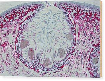 Fucus Sp. Algae, Lm Wood Print by M. I. Walker