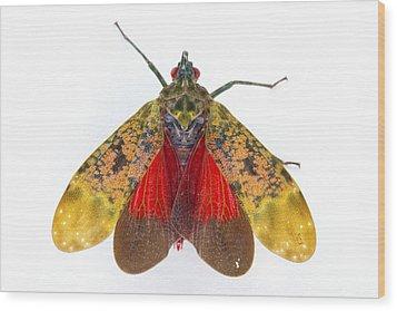 Fulgorid Planthopper Costa Rica Wood Print by Piotr Naskrecki