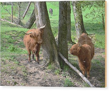 Fuzzy Cows Wood Print by Bob Jackson