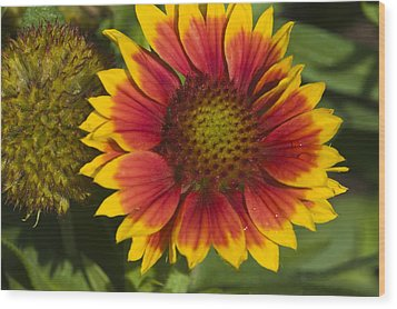 Wood Print featuring the photograph Gaillardia by Rob Hemphill