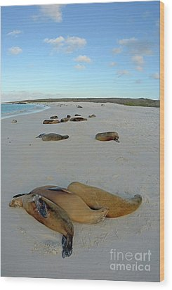 Galapagos Sea Lions Sleeping On Beach Wood Print by Sami Sarkis