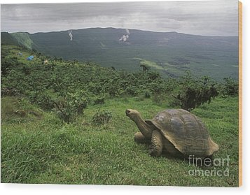 Wood Print featuring the photograph Galapagos Tortoise - Alcedo Crater Galapagos by Craig Lovell