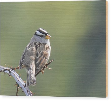 Wood Print featuring the photograph Gambel's White Crowned Sparrow by Ronda Broatch