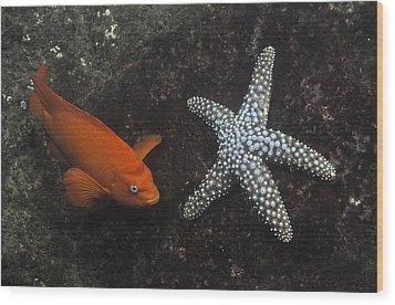 Garibaldi With Starfish Underwater Wood Print by Flip Nicklin