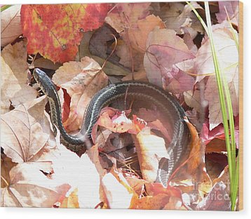 Garter Snake Wood Print by Kevin Fortier