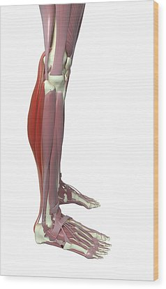 Gastrocnemius And Soleus Muscle Wood Print by MedicalRF.com