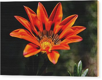 Wood Print featuring the photograph Gazania Krebsiana Flower by Werner Lehmann