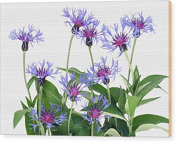 Wood Print featuring the photograph Gentle Blue Cornflowers by Aleksandr Volkov