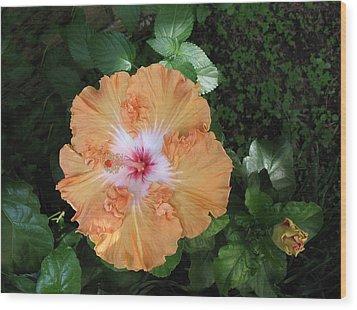 Gentle Orange Hibiscus Wood Print by Connie Fox