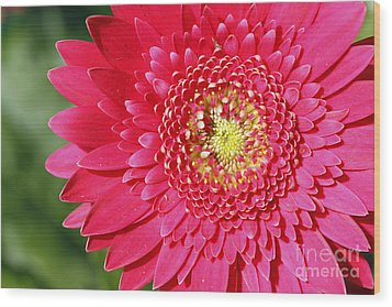Gerbera Daisy Wood Print by Denise Pohl