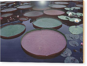 Giant Amazon Lily Pads Wood Print by Tom Wurl