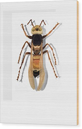 Giant Asian Hornet Wood Print by Inger Hutton