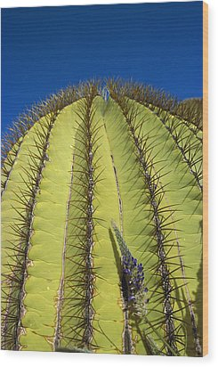 Giant Barrel Cactus Ferocactus Diguetii Wood Print by Tui De Roy