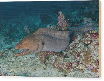 Giant Moray Eel Swimming Wood Print by Mathieu Meur