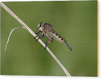 Giant Robber Fly - Promachus Hinei Wood Print by Daniel Reed