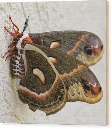 Giant Silkworm Moth 063 Wood Print