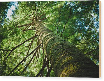 Giant Spruce Tree Canopy Wood Print by Christopher Kimmel
