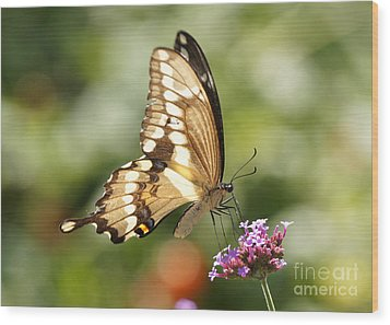 Giant Swallowtail Butterfly Wood Print by Robert E Alter Reflections of Infinity
