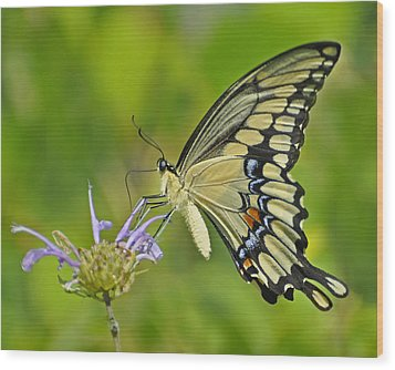 Giant Swallowtail Wood Print by Rodney Campbell