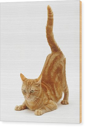 Ginger Cat Wood Print by Jane Burton