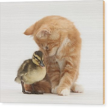 Ginger Kitten And Mallard Duckling Wood Print by Mark Taylor