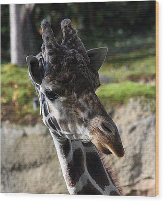 Giraffe - 0001 Wood Print by S and S Photo