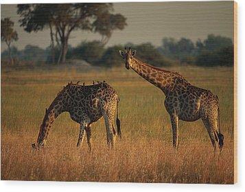 Giraffes Graze On The African Plain Wood Print by Beverly Joubert