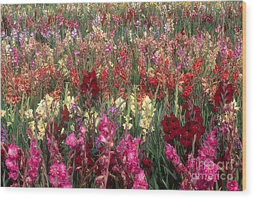 Gladioli Garden In Early Fall Wood Print by Yva Momatiuk and John Eastcott and Photo Researchers
