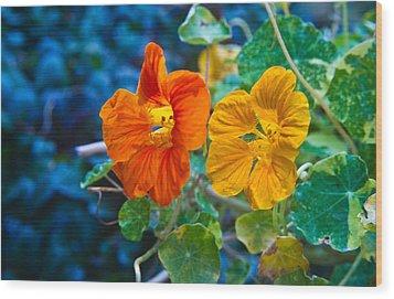 Glowing Nasturtiums 1 Wood Print by Douglas Barnett