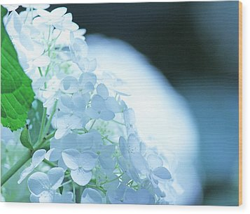 Glowing White Hydrangea Wood Print by Becky Lodes