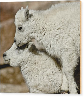 Goat Babies Wood Print by Colleen Coccia