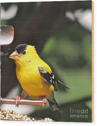 Wood Print featuring the photograph Gold Finch by Eve Spring