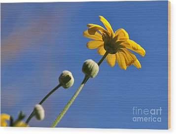 Golden Daisy On Blue Wood Print by Kaye Menner