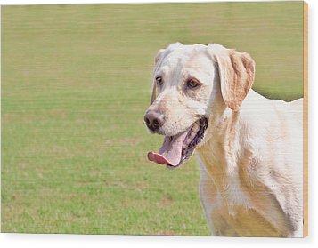 Golden Labrador Wood Print by Tom Gowanlock