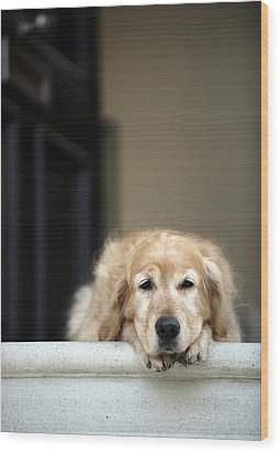 Golden Retriever Dog Lying In Front Door Of House, Looking Away (focus On Foreground) Wood Print by Janie Airey