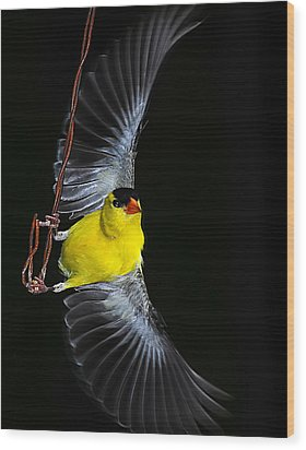Wood Print featuring the photograph Goldfinch High Wire Act by Randall Branham