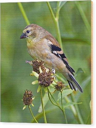 Goldfinch Juvenile Wood Print by Dick Jones