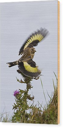 Goldfinch On Thistle Wood Print