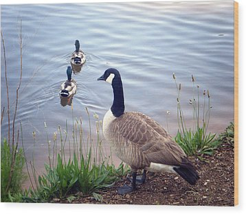 Wood Print featuring the photograph Goose And Ducks by Kelly Hazel