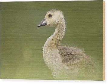 Gosling Wood Print by Lisa Franceski Wildlife Photography