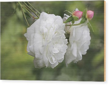 Graceful White Rose And Pink Rosebuds Wood Print by Jennie Marie Schell