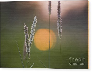 Grass Blooming Wood Print by Heiko Koehrer-Wagner