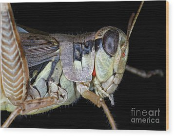 Grasshopper With Parasitic Mite Wood Print by Ted Kinsman